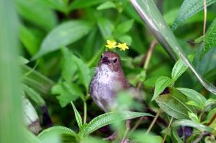 可愛的台灣叢樹鶯