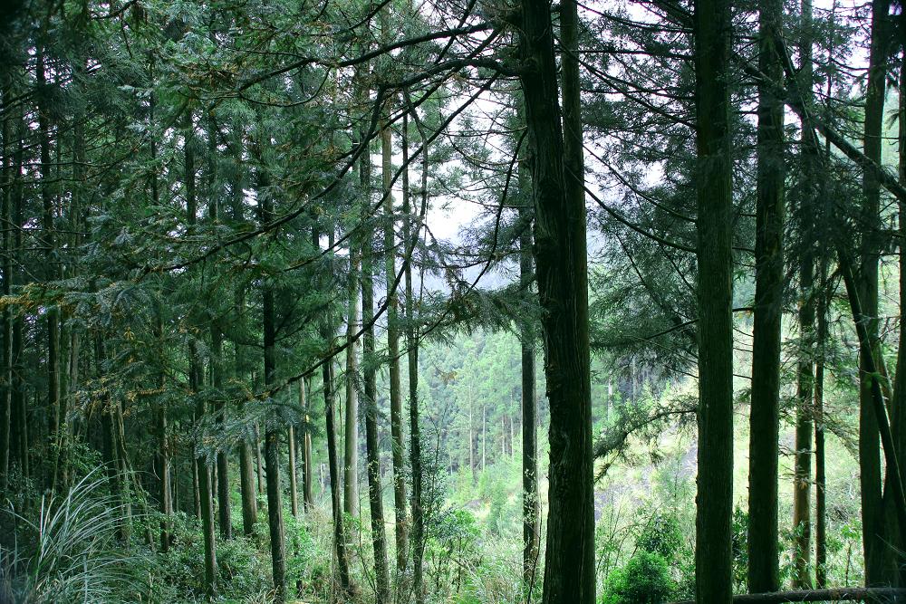 大雪山多條步道均可見大片杉木林(claire) (2)(001)