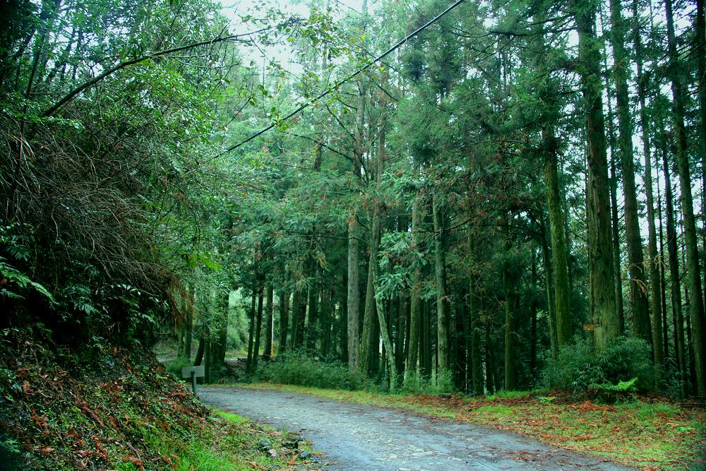 大雪山多條步道均可見大片杉木林(claire)(001)