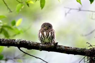 大雪山最萌之鳥-鵂鶹